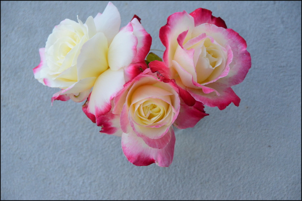 """""""The last of the summer Roses"""""""