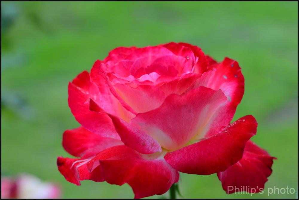 Rose#2