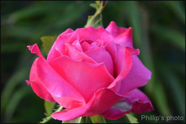Rose#4