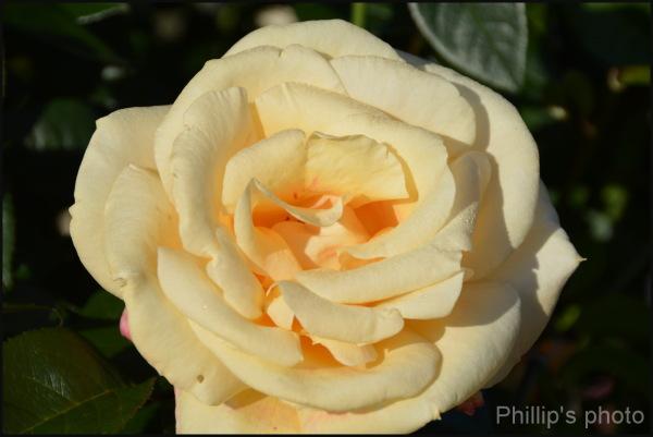 Rose#5