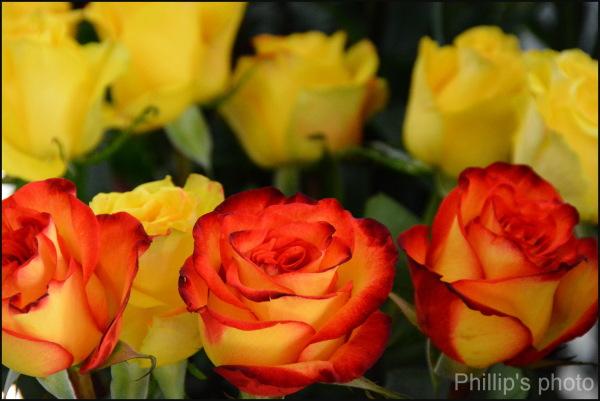 Rose#6