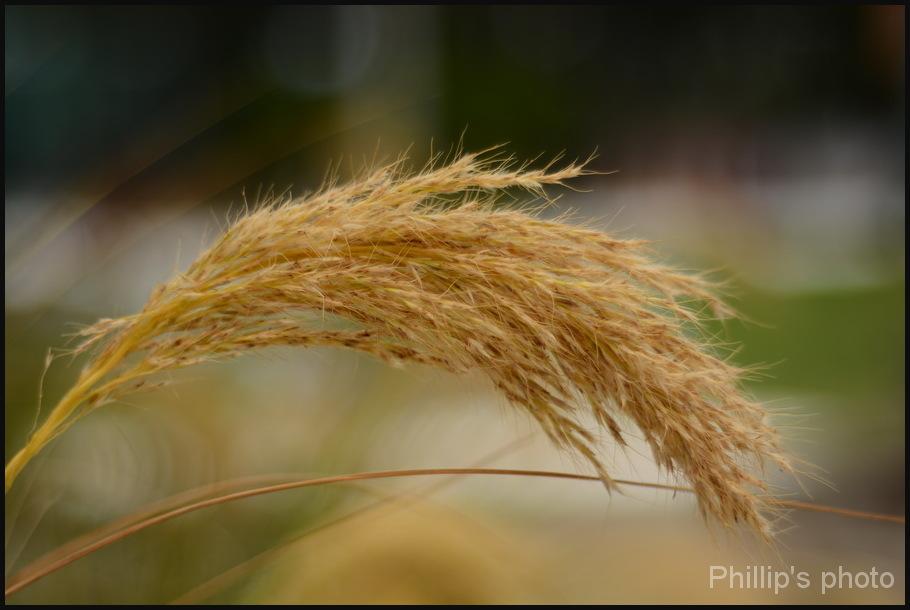 Grass seed Head.