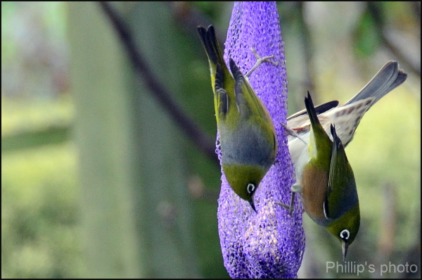 White Eye's having a feed