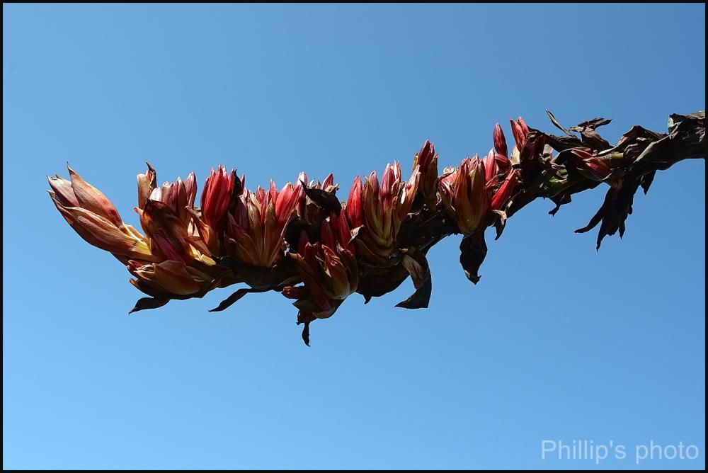 Chatham Island Flax. #2