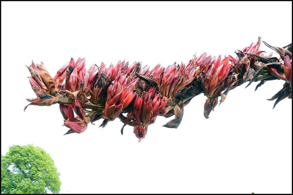 Chatham Island Flax. #3
