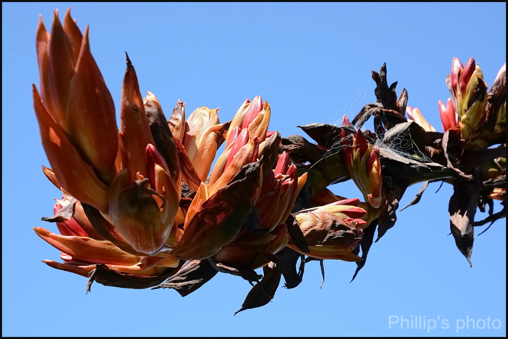 Chatham Island Flax. #4