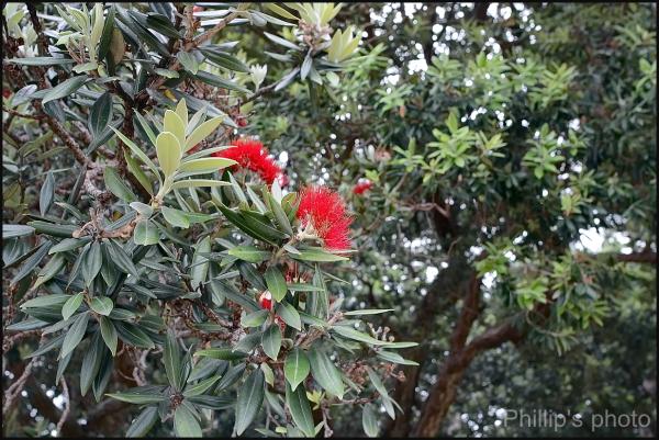 New Zealand Christmas Tree 3