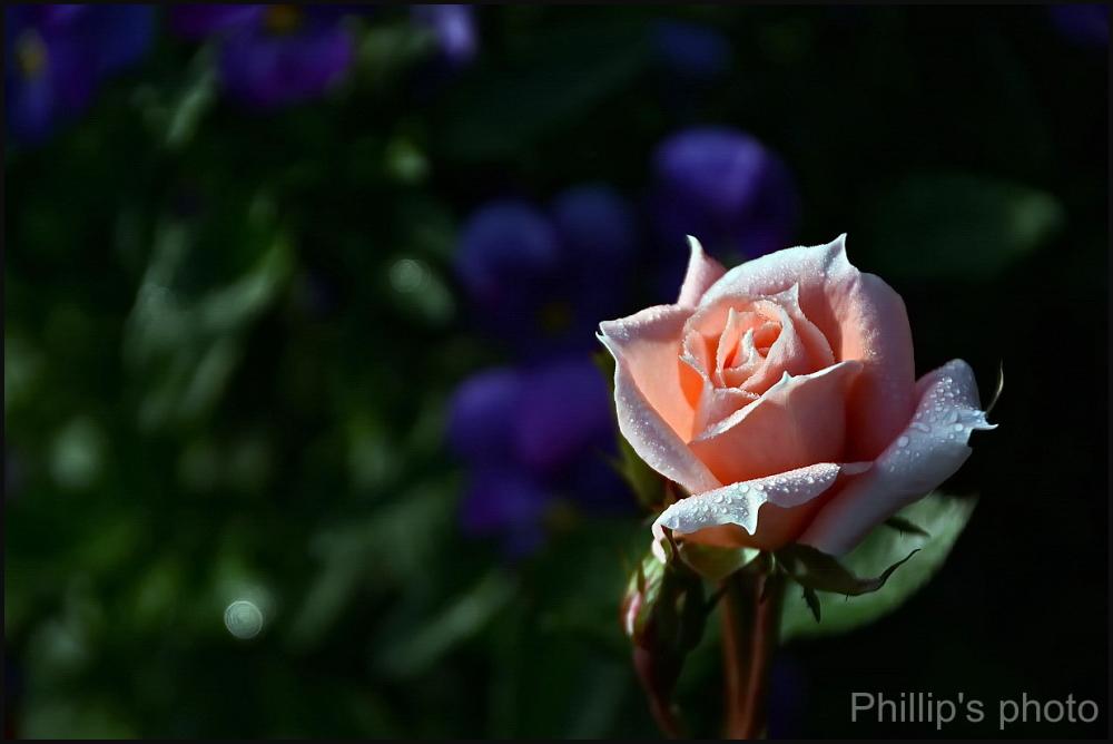 Mornimg Rose.