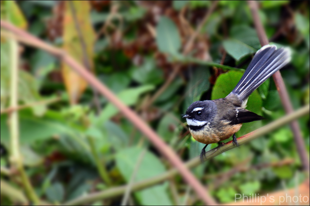 New Zealand Fantail.