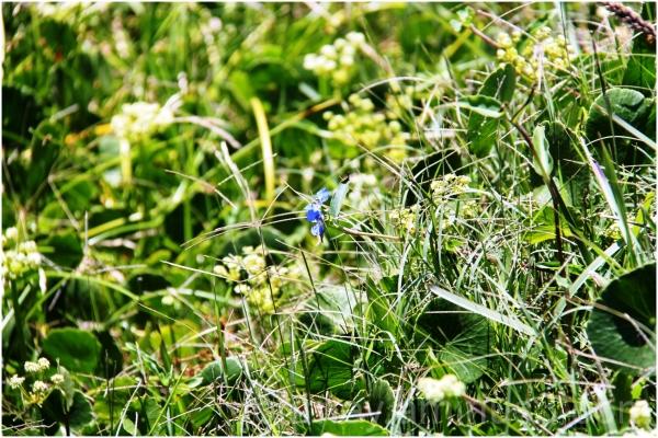blue flower kurnell