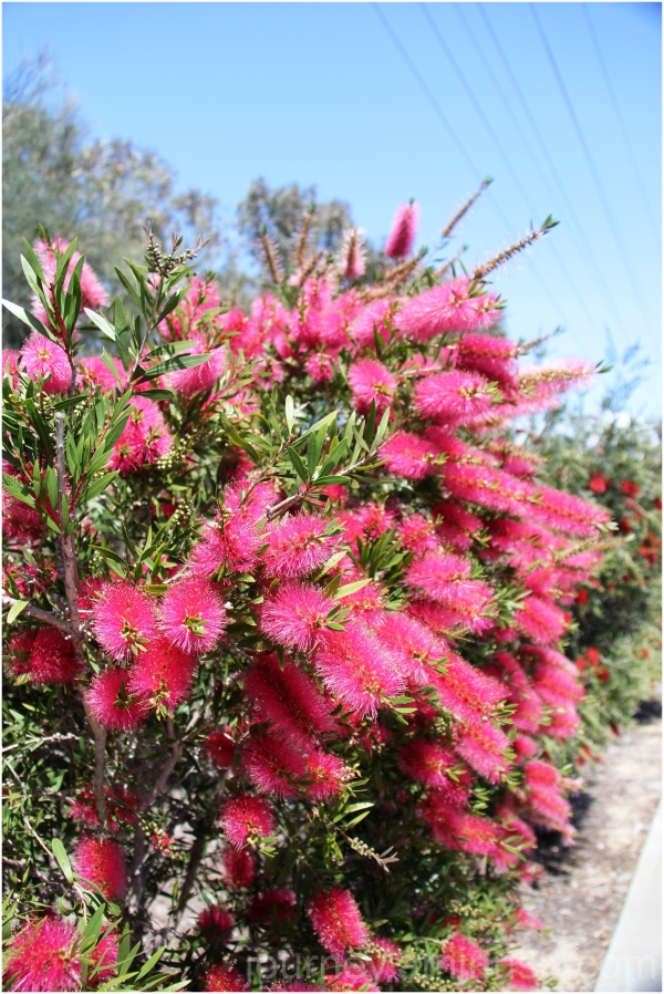 Yanderup Bottlebrush2