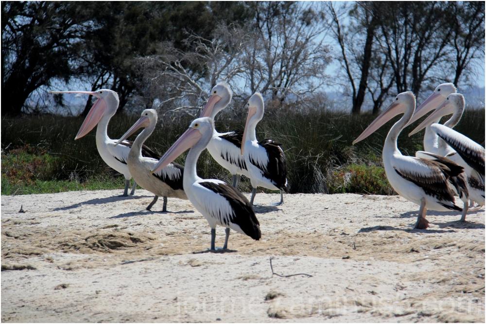 Pelicans Yanderup