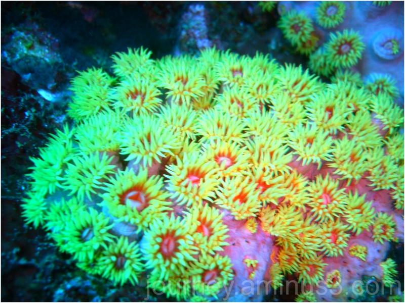 Puerto Galera Soft Coral