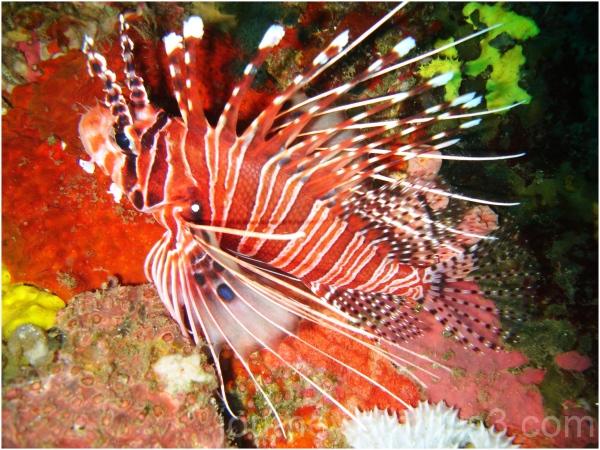 Puerto Galera Scorpion Butterfly Fish