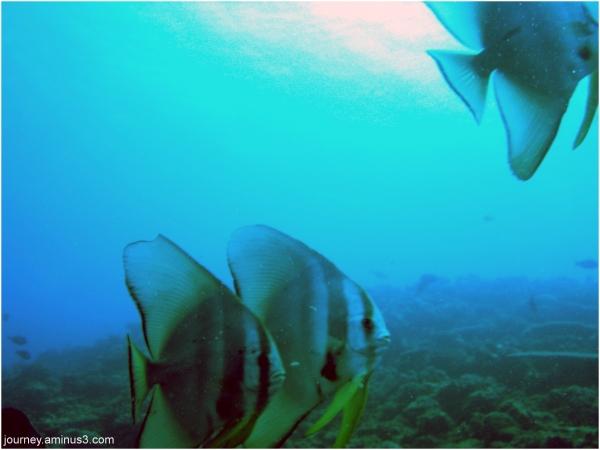 Fijian Batfish