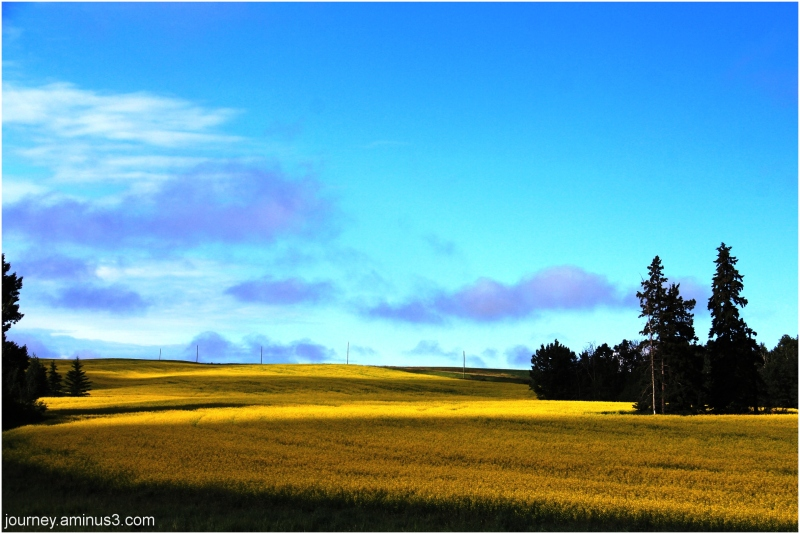 Canola Fields Red Deer