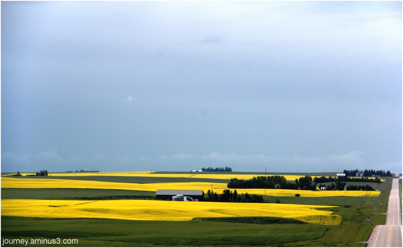 Red Deer Canola Fields
