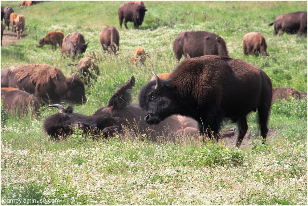 Elk Island Bison