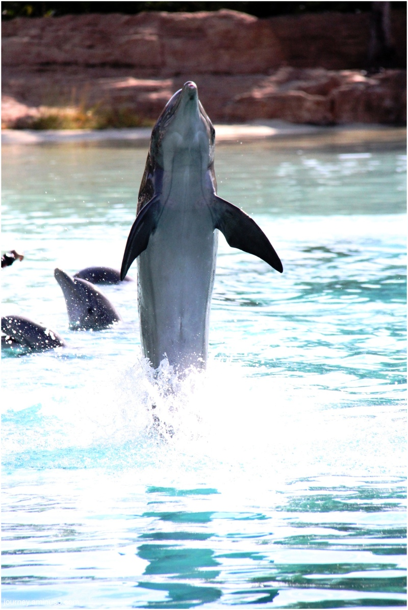 Atlantis Dolphin