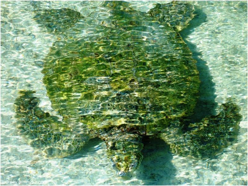 Atlantis Turtle