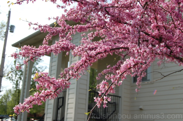 Cotton Candy Trees (St. Louis Hanami)