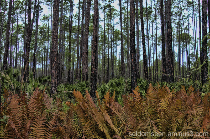 Ferns, Palm, and Long Needle Pine
