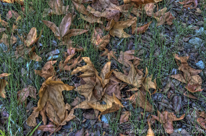 Sycamore and Oak leaves