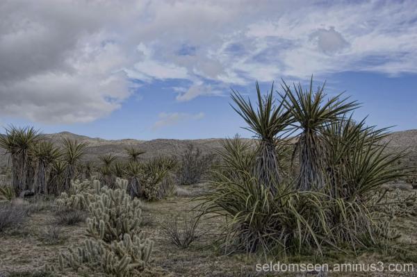 Yucca and Cholla