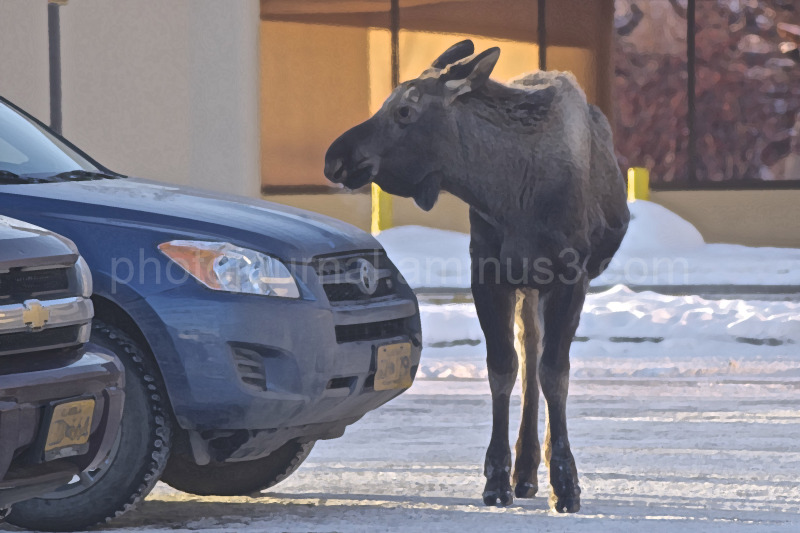 Moose standing next to a car in a parking lot