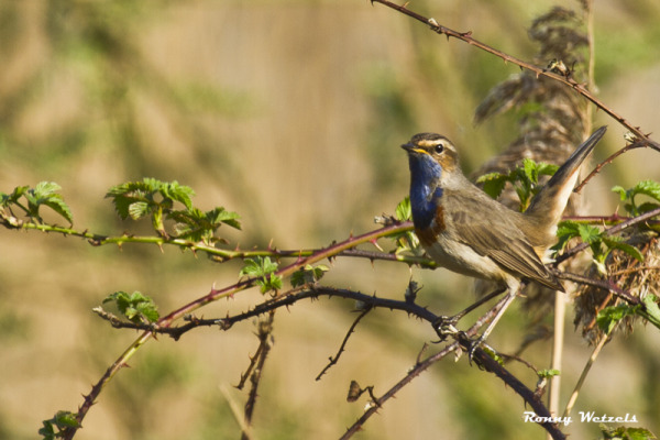 Blauwborst man (Luscinia svecica)