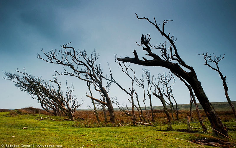 dead trees in the dunes of texel, netherlands