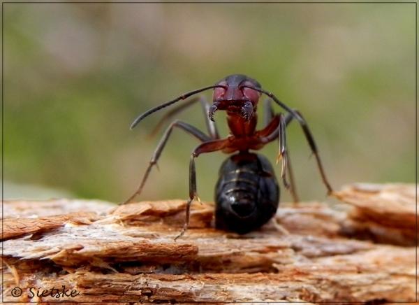 mier in de aanval