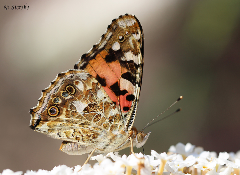 *vlinder*