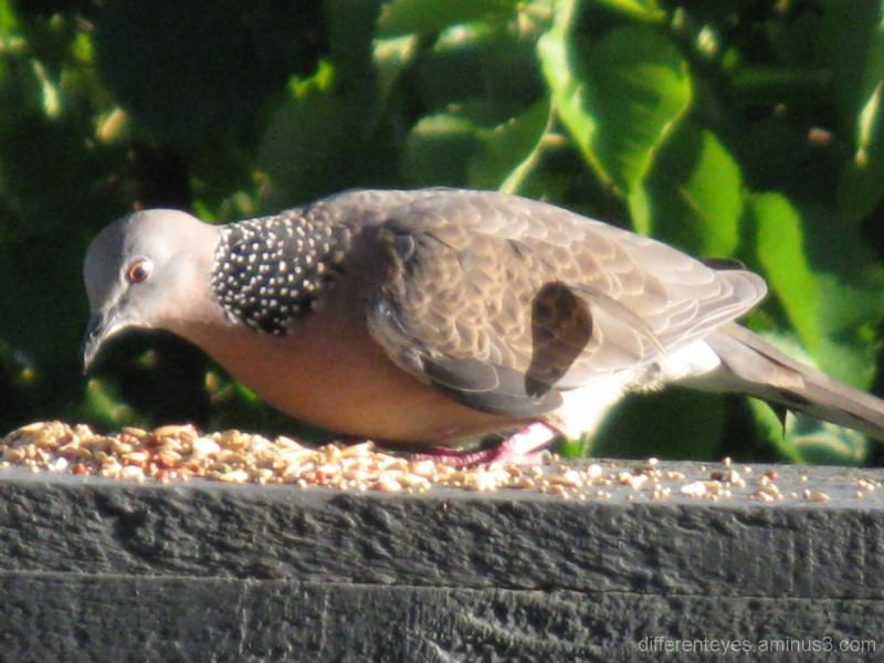 Dove feeding on my verandah in morning light