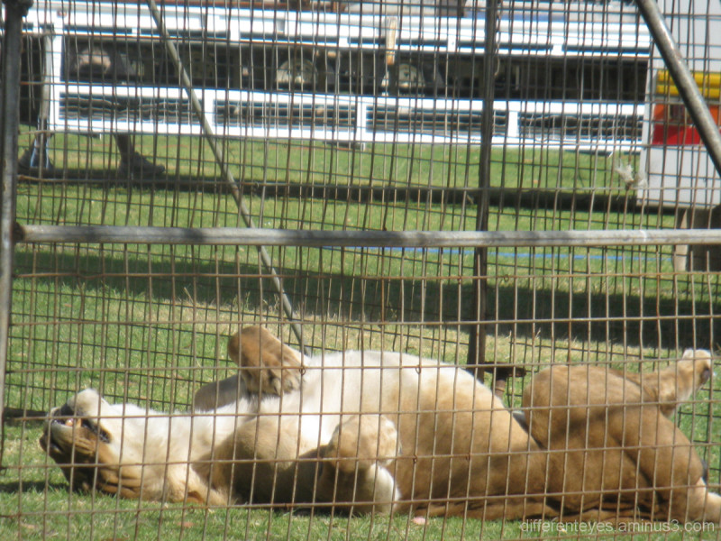 Stardust Circus lion sunbathing at Rosebud
