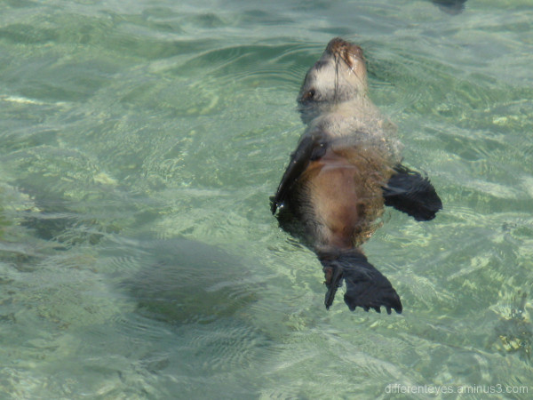 Baby seal swimming near Dromana beach