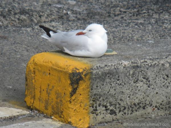 Seagull resting in Fisherman's Beach carpark