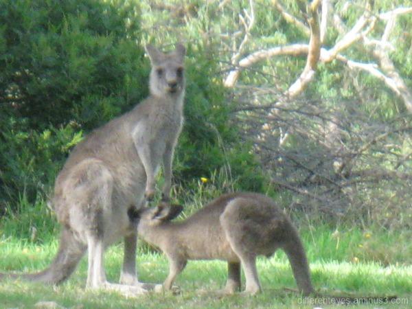 Kangaroos at Seawinds, Arthurs Seat