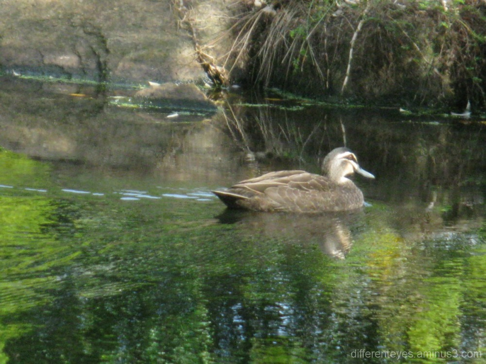 Duck swimming at Seawinds, Arthurs Seat