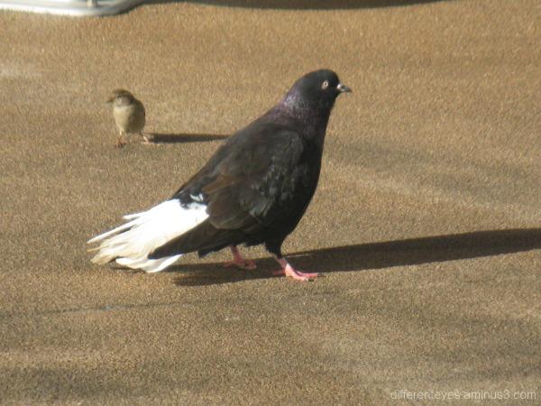 pigeon, Dromana Hub