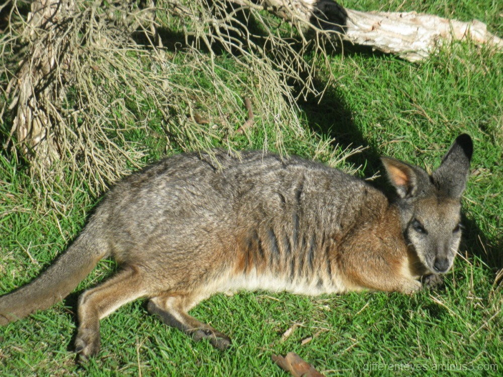 Wallaby at Moonlit Sanctuary, Pearcedale