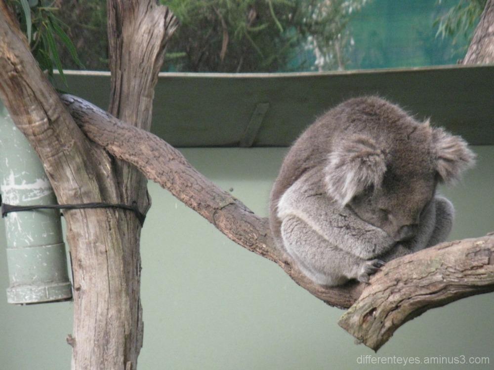 Koala at Moonlit Sanctuary, Pearcedale