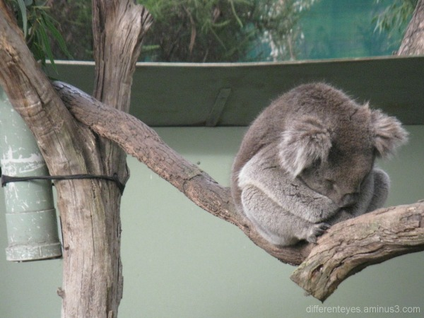 Koala at Moonlit Sanctuary, Pearcedale