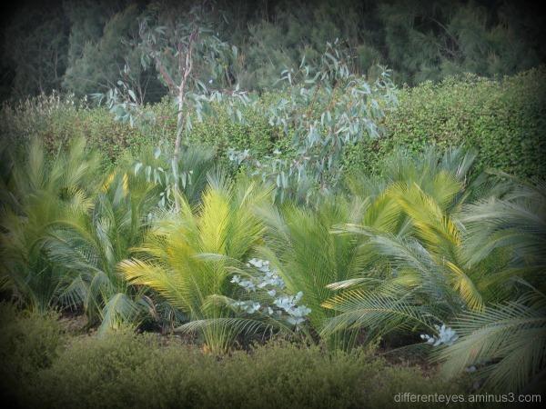 ferns at Cranbourne Botanical Gardens