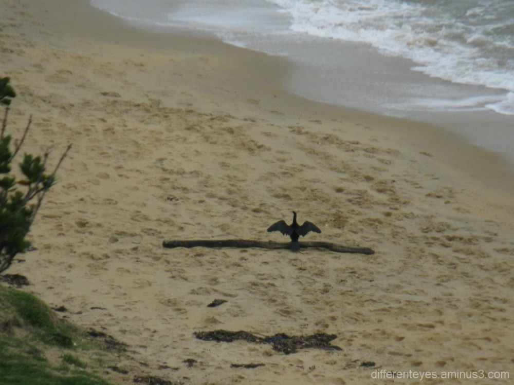 Cormorant drying at Schnapper Point beach