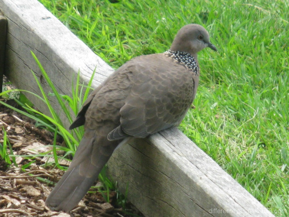 Dove waiting