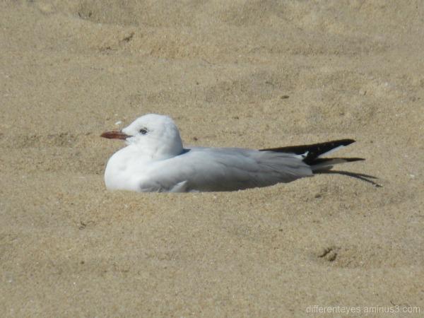 Seagull bedded down at Dromana beach