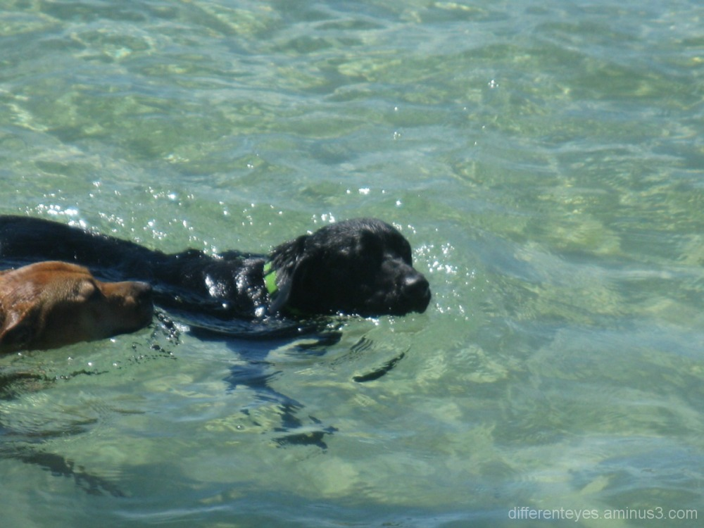 Dogs swimming at Dromana