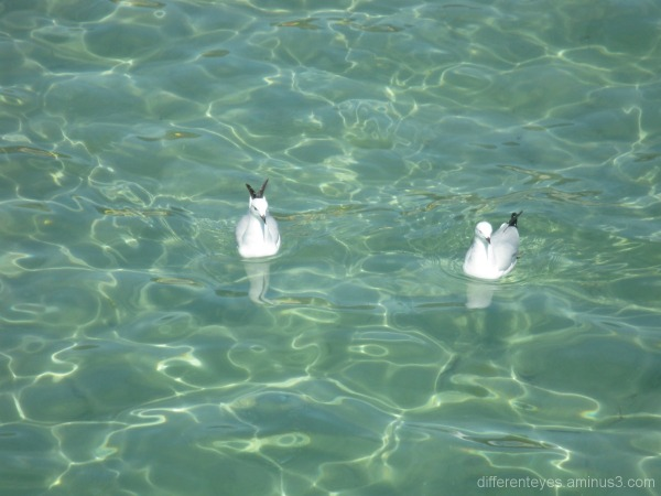 Swimming seagulls at Dromana