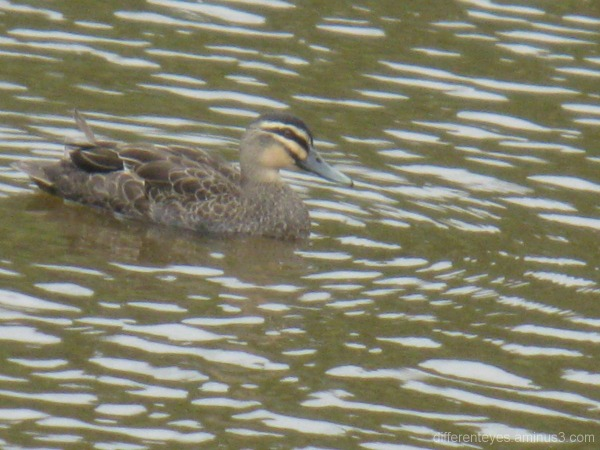 Duck at Hillview Community Reserve, Dromana